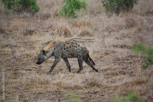Poster Hyène Afrique_du_Sud