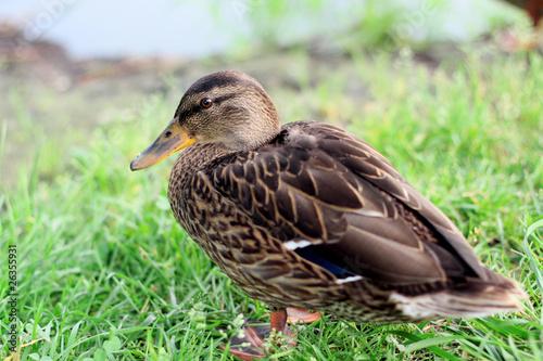 Fotografie, Obraz  Wild duck.
