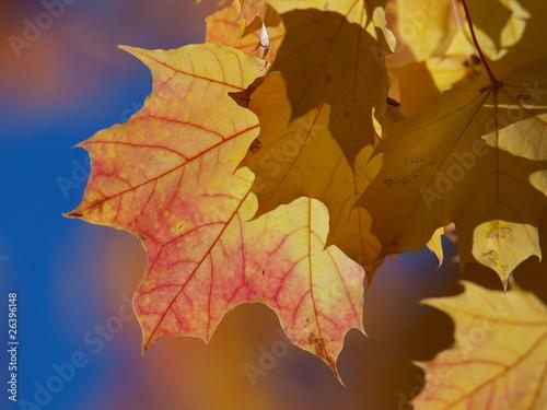 Fototapeta gelb rotes Ahornblatt obraz na płótnie