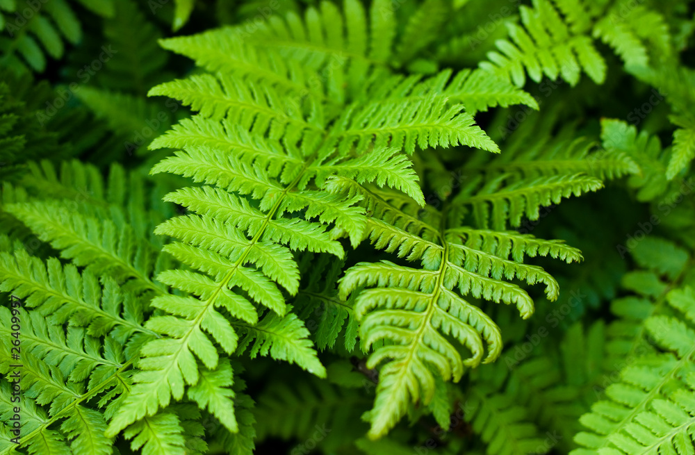 Fototapeta Green fresh fern