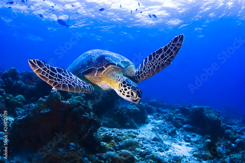 Fototapeta  Green Seaturtle swimming over the reef in Pulau Sipadan