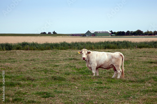 Photo Stands Cow Kuh auf der Weide 609