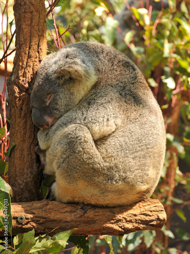 Poster Oceanië Sleeping koala on a branch