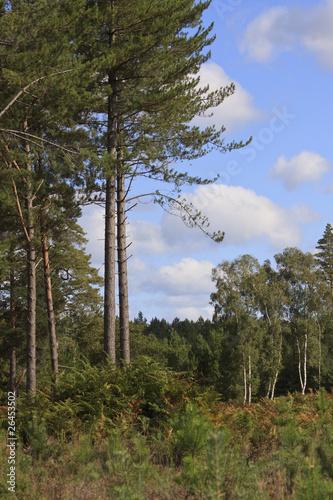 Fototapeta Fir Trees obraz na płótnie