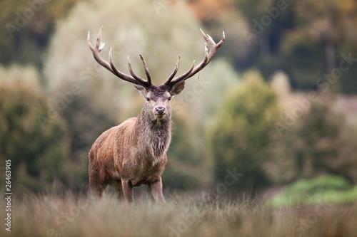 Fotografia, Obraz  cerf cervidé brame mammifère bois animal sauvage forêt roi bi