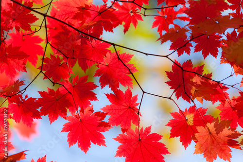 Tuinposter Rood Bright autumn leaves of maple