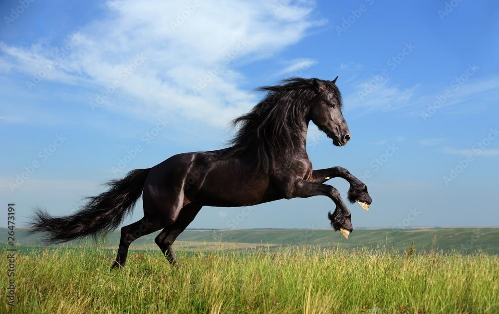 Fototapeta beautiful black horse playing on the field