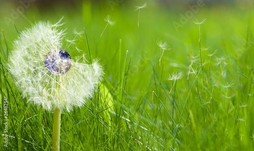 Keuken foto achterwand Paardebloem Dandelion with an earth core