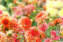 Closeup Of Colorful Dahlias