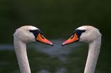 Fototapeta Zwierzęta - Para łabędzi