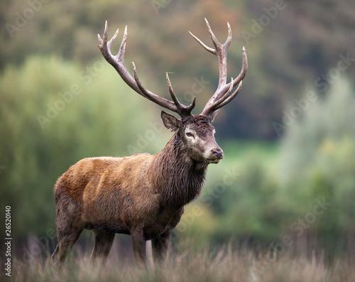 cerf bois brame cors cervidé mammifère animal forêt roi biche