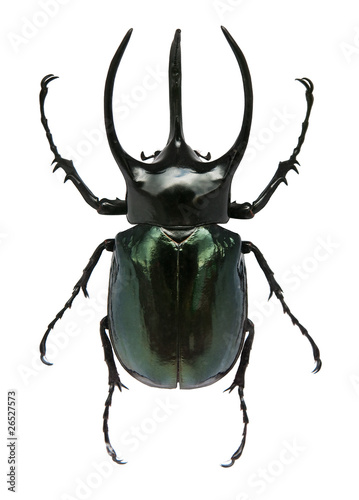 Leinwand Poster Big horned beetle