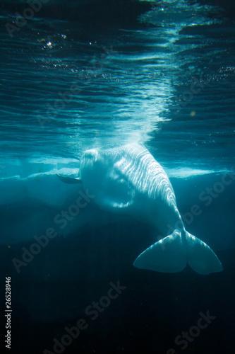 White Beluga Whale .. Fototapete