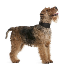 Welsh Terrier, 7 Years Old, Standing