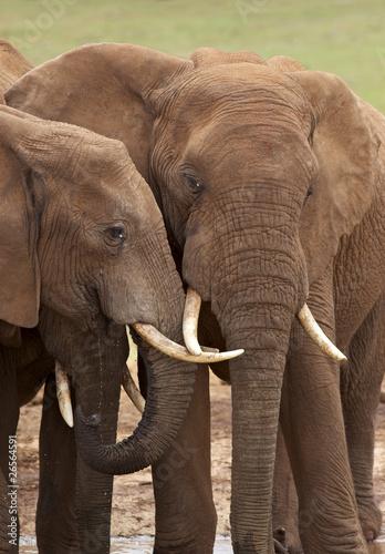 Fototapeta premium Słoń afrykański