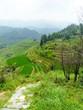 Bambous et rizières