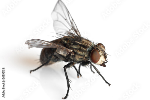 fly - mosca