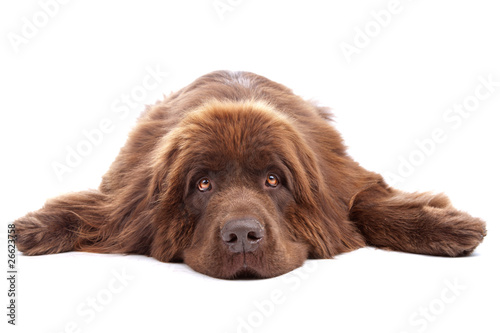 Slika na platnu Brown newfoundland dog isolated on white background