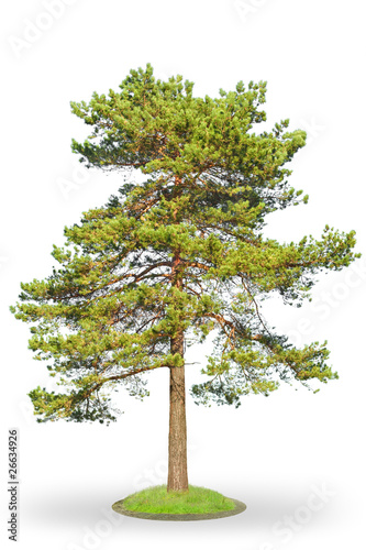 Fotografia, Obraz  Scotch fir on white