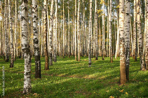 Foto op Aluminium Berkbosje Birch Grove In Autumn Colors