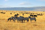 Fototapeta Sawanna - Zebras and antelopes wildebeest in the savannah