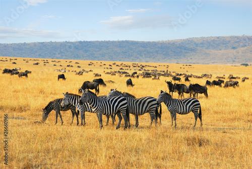 In de dag Zebra Zebras and antelopes wildebeest in the savannah