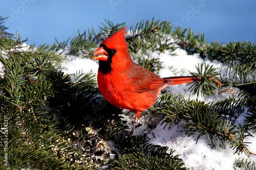 Sticker - Cardinal In Snow