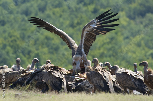 Photo Griffon Vulture fight for food