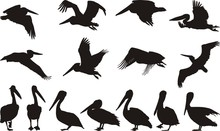 Pelican Silhouettes - Vector