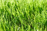 Fresh young spring grass