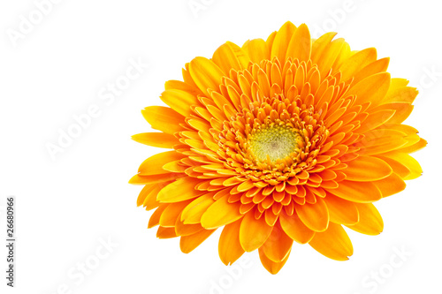 Perfect Orange Gerbera