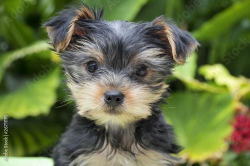 Foto  Junger Yorkshire Terrier - Rassehund Yorkshire Terrier Welpe