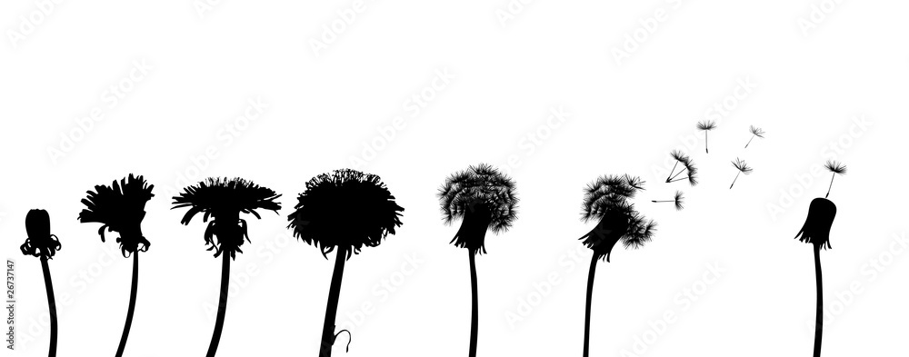 Fototapety, obrazy: dandelion life chain