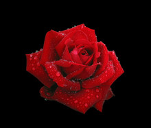 Red Rose In Raindrops Isolated On Black. Contains Clipping Path
