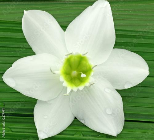 Fleur Blanche Du Lys De La Vierge Sur Feuille De Palmier Buy This