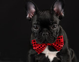 Fototapeta Dogs - dog wearing red bowtie