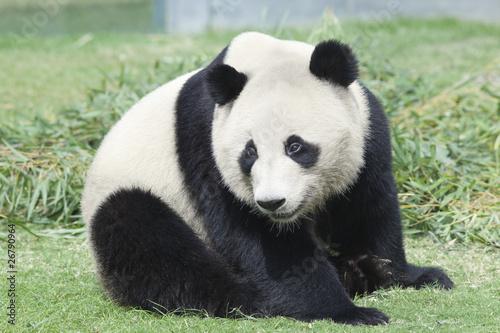 Photo 考えるパンダ