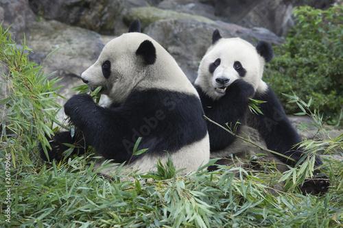 Fotomural 食事をする兄弟パンダ