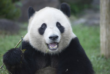 パンダの顔のアップ