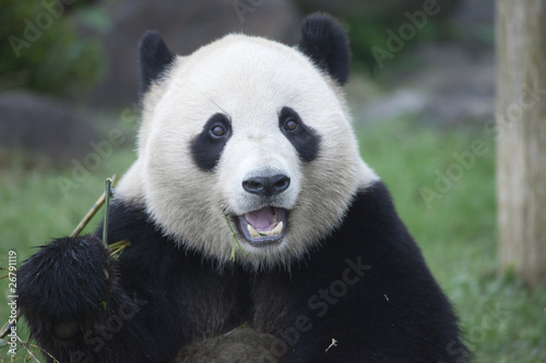 Autocollant pour porte Panda パンダの顔のアップ