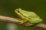 Fototapeta Zwierzęta - Rzekotka drzewna Hyla arborea
