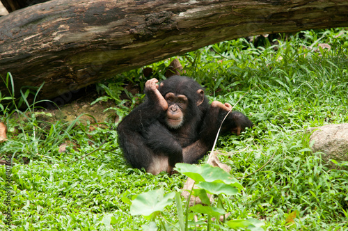 Young Baby Chimpanzee - Buy this stock photo and explore