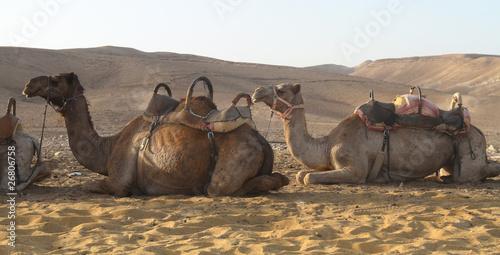 Fotografija  Camel in desert