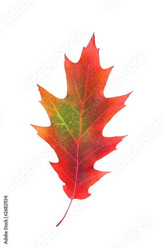 Czerwono-zielony liść dębu - fototapety na wymiar