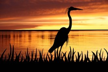 Silhouette Of Big White Heron Staying Into A Grass