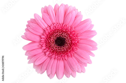 Wall Murals Gerbera Perfect Pink Gerbera