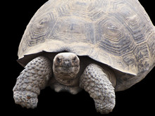 A Giant Galapagos Tortoise Isolated On A Black Background