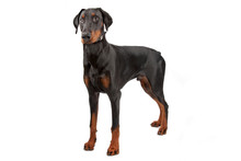 Doberman Pinscher Isolated On ...