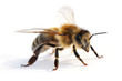 canvas print picture - Westliche Honigbiene