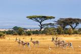 Grant's gazelles